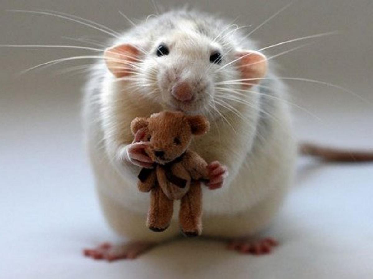 Спящая крыса в обнимку со своей плюшевой копией попала на видео, умилив Сеть