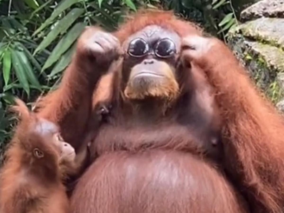 Самка орангутанга примеряла очки посетительницы зоопарка