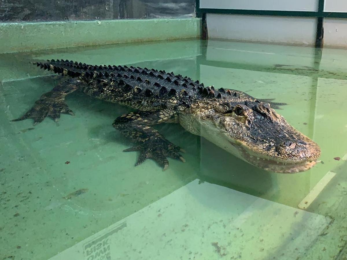 Аллигатор едва не утащил в бассейн смотрительницу зоопарка на детском дне рождения