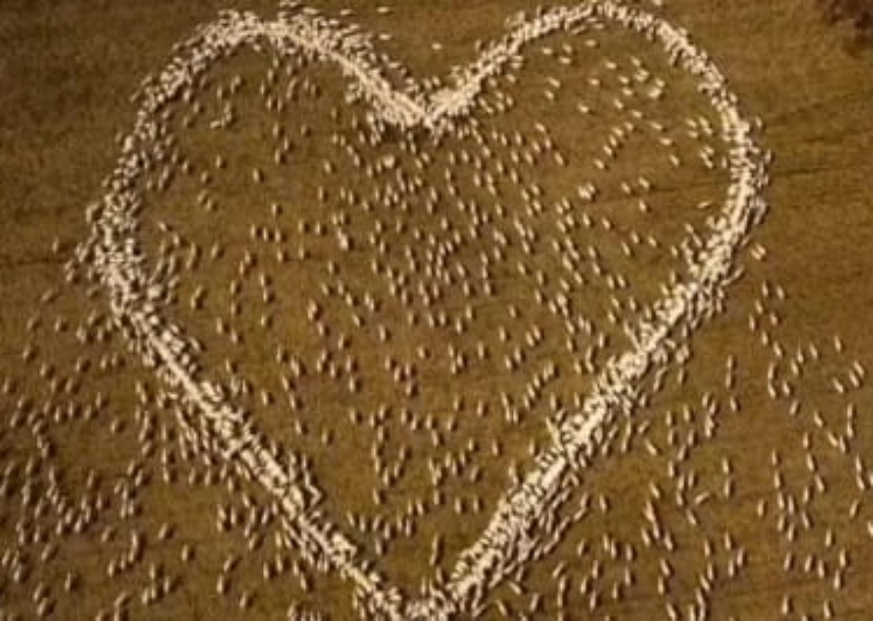Фермер почтил память близкого человека огромным сердцем из овец
