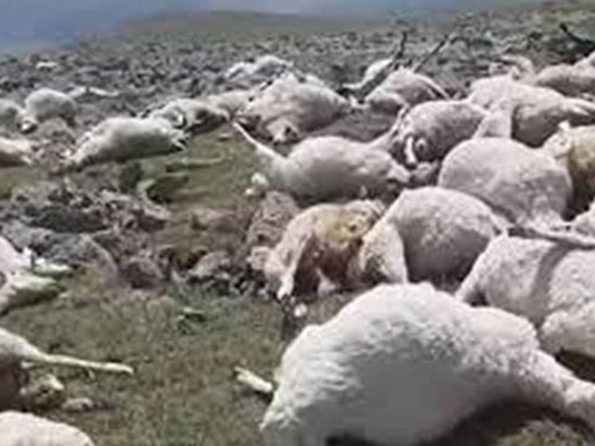 Погибло стадо овец