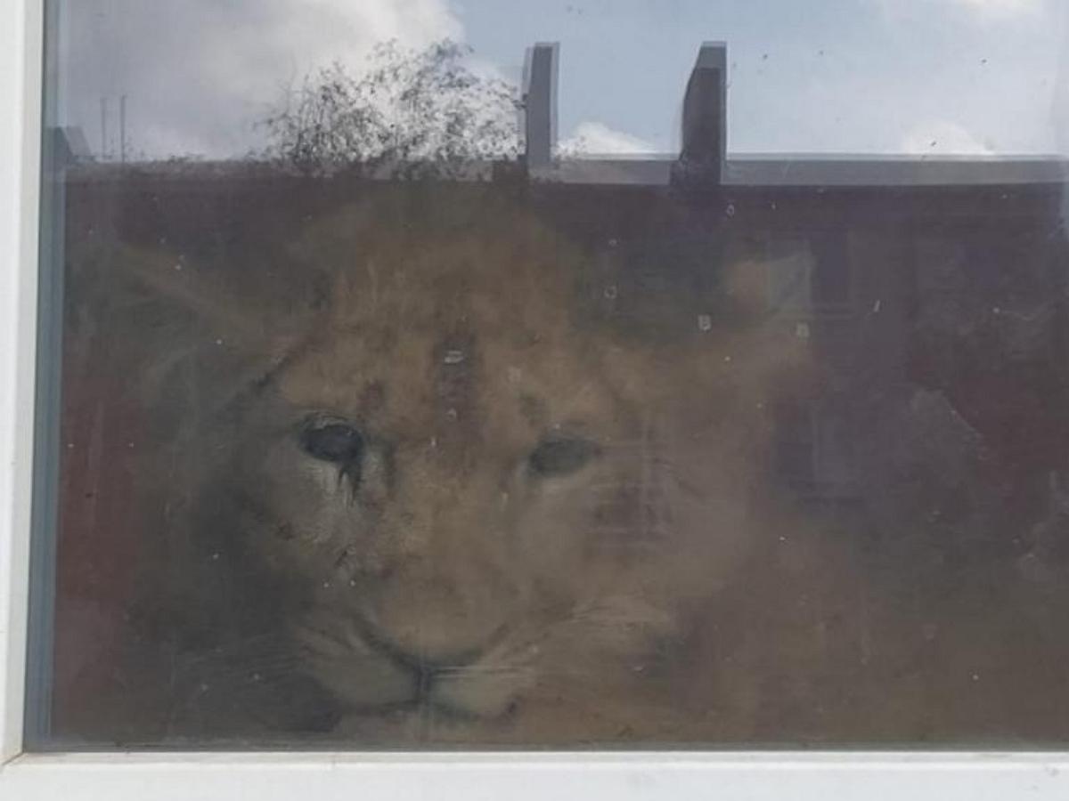 В Урюпинской новостройке завели домашнего льва