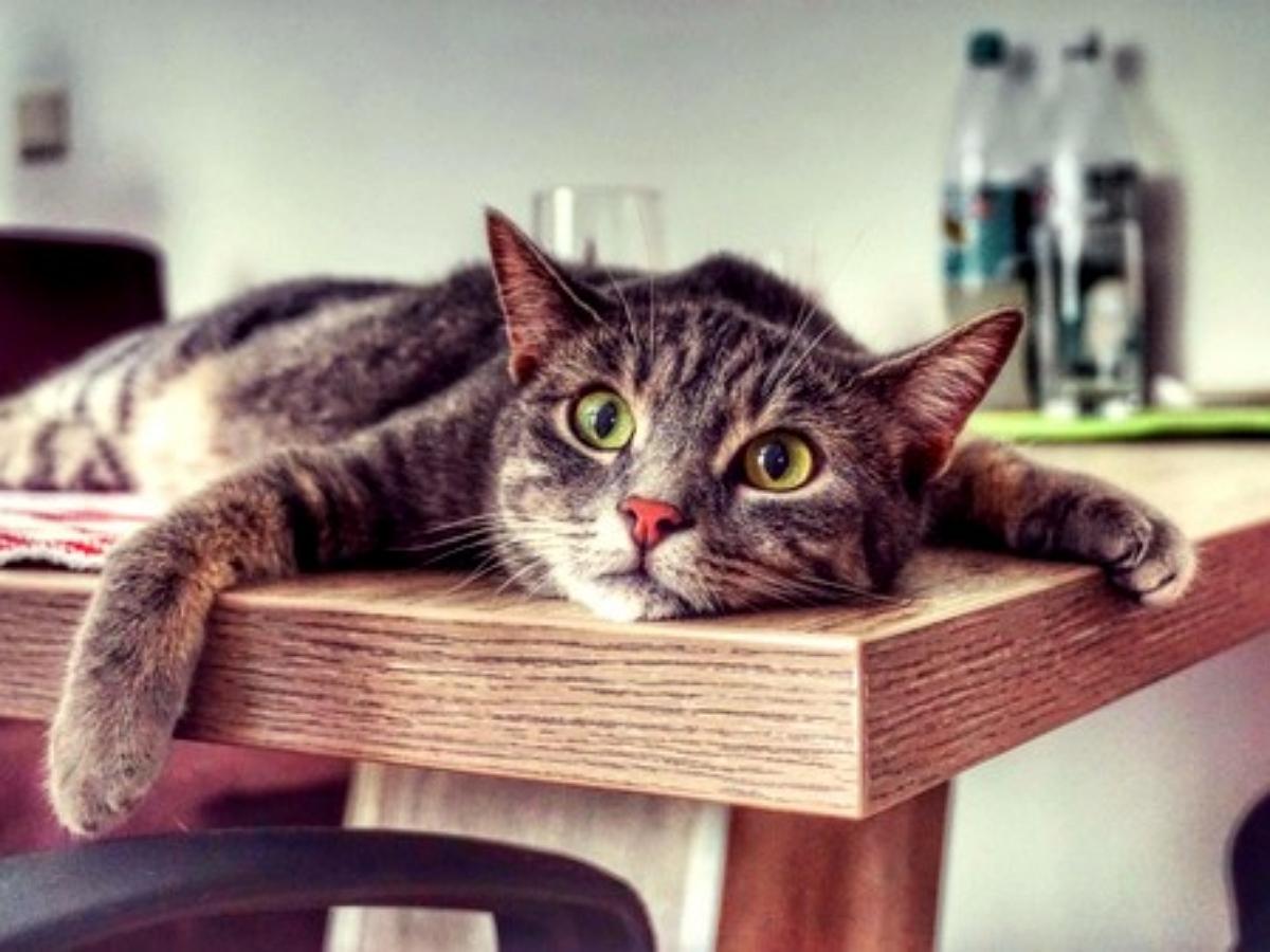 Японцы показали стол с отверстием, позволяющий не расставаться со своим котиком даже за обедом