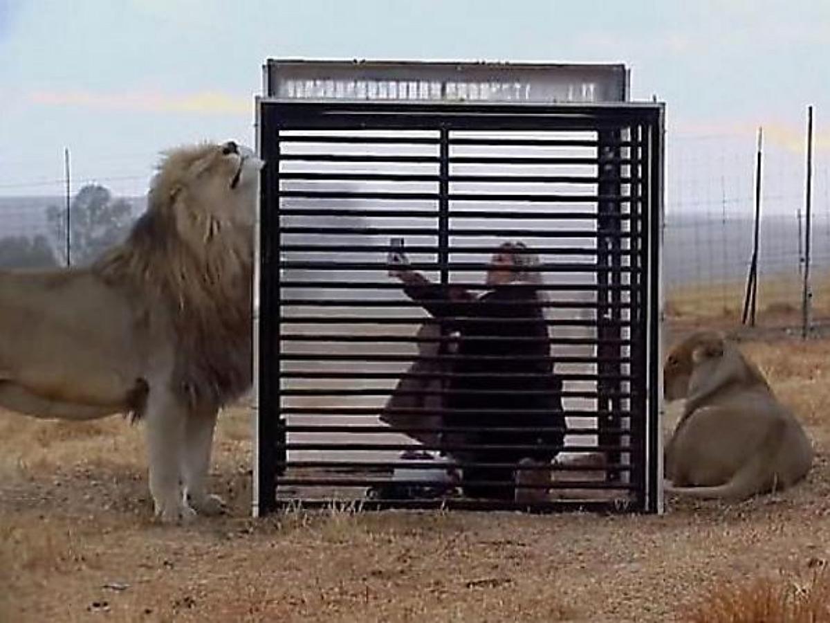 Новый аттракцион в львином заповеднике ЮАР позволяет поменяться местами с хищниками