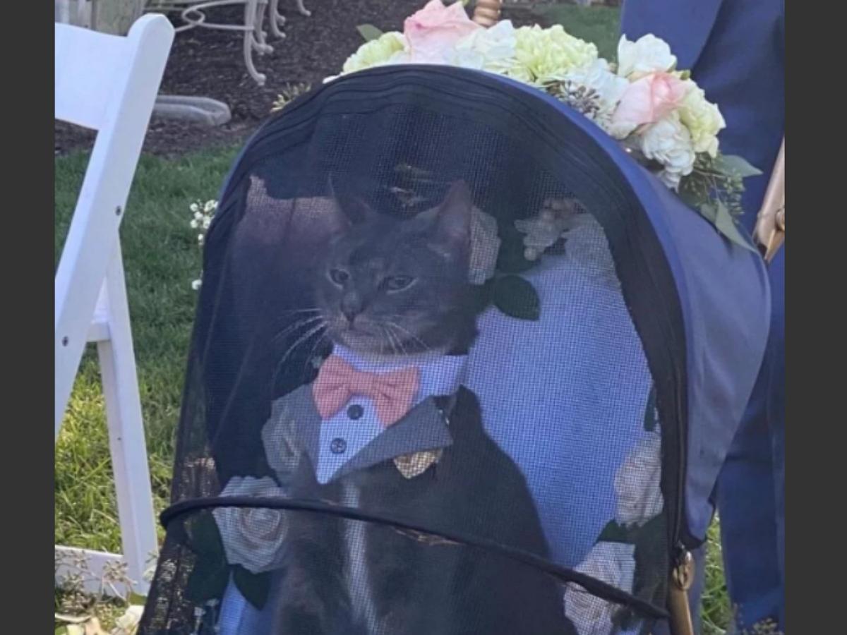 Самый импозантный кот в мире подавал молодоженам кольца на свадьбе