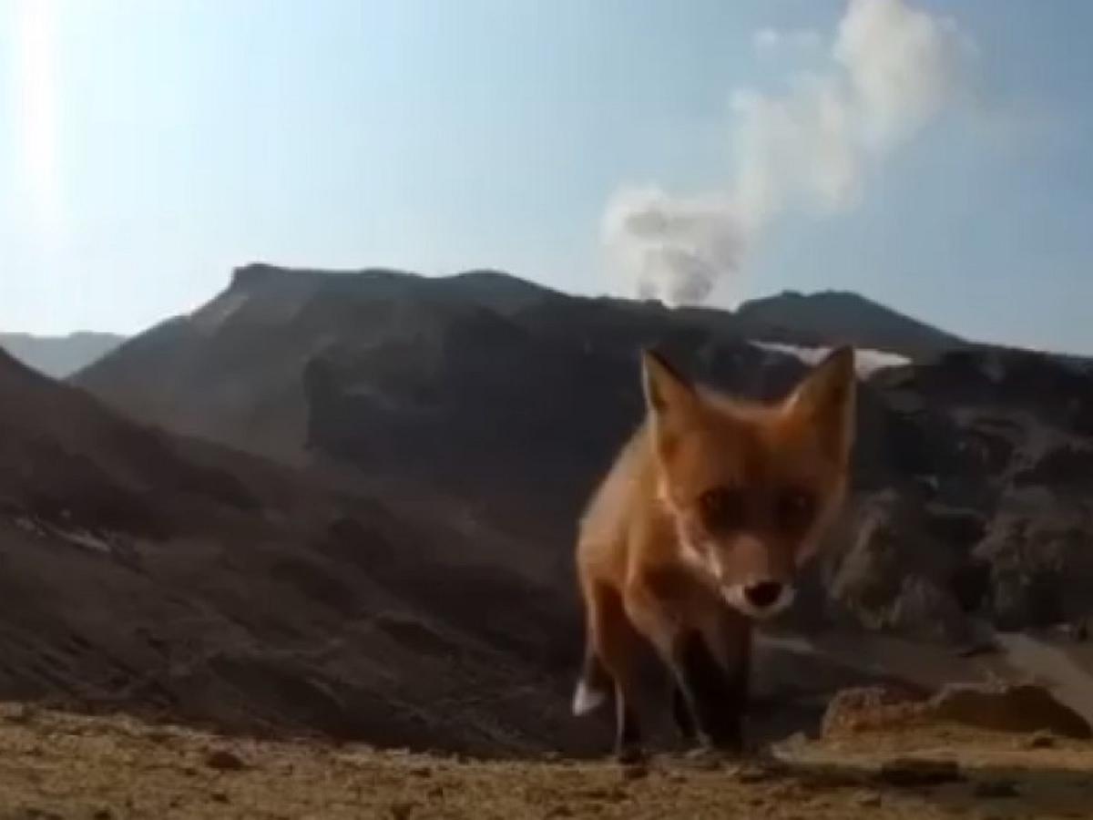 Прямое включение из пасти лисы попало на видео