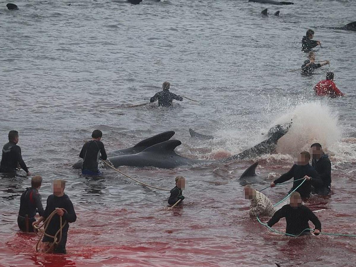 Фарерские острова убили дельфинов