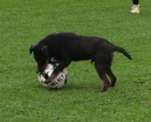 Собака выбежала на футбольное поле во время матча и утащила мяч у игроков