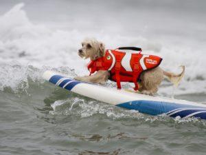 В Калифорнии соревнования псов-серферов выиграл белый терьер