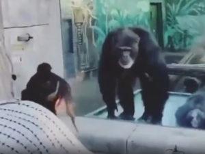 Женщина дразнит гориллу