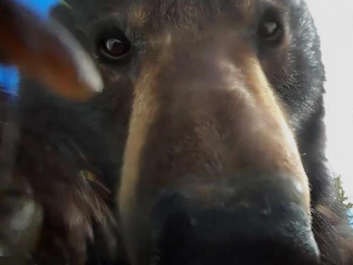 Медведь нашёл камеру GoPro и наснимал отличных селфи