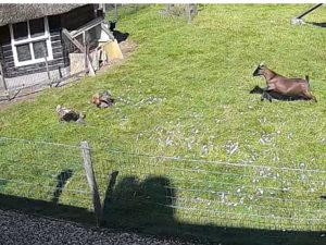 коза и петух спасла курицу от ястреба