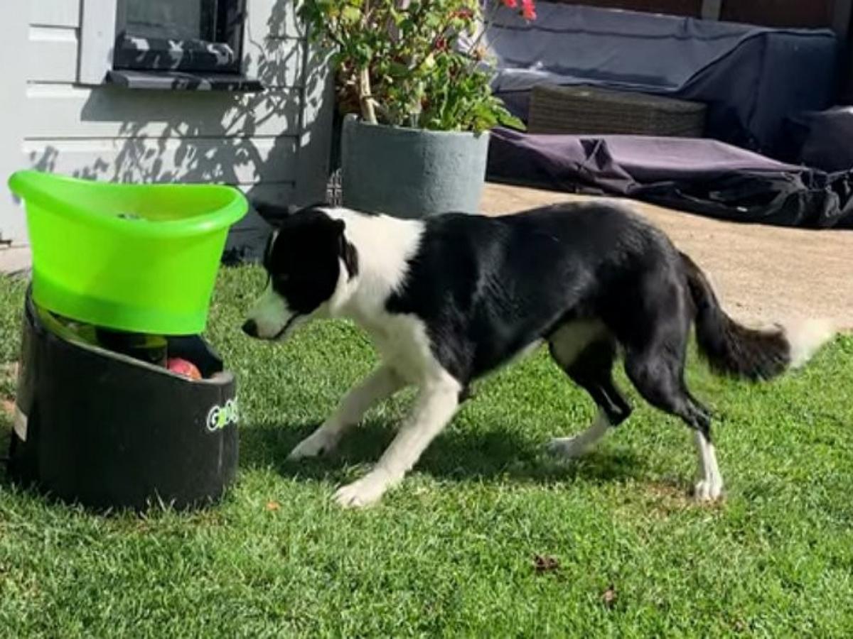 Смышленый пес научился сам запускать себе мячи, очень радуясь каждому