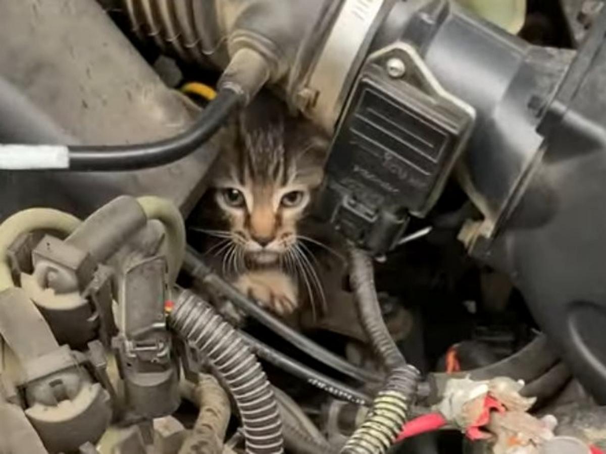"""Кот """"проинспектировал"""" двигатель авто"""