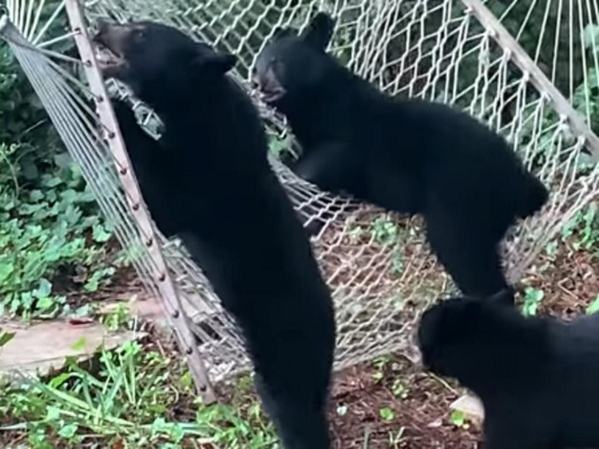 Медвежата рассмешили Сеть, пытаясь сладить с дачным гамаком