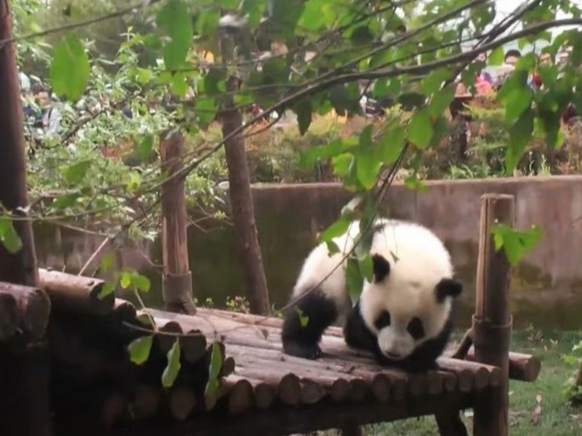Маленькая панда очень хочет помочь с уборкой листвы, но больше мешает