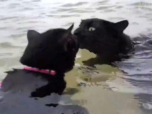 Водоплавающие коты развенчали мифы о том, что эти животные не любят воду
