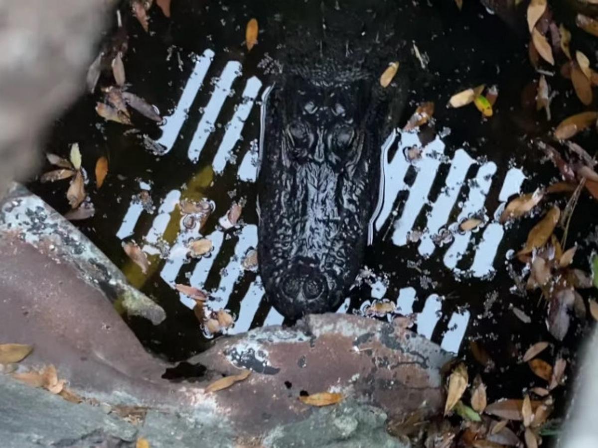 Жителей Флориды в ливневой канализации поджидал крокодил