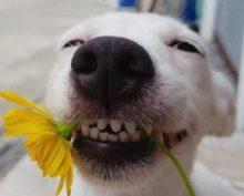 Собака старательно улыбается людям, чем смешит их до слез