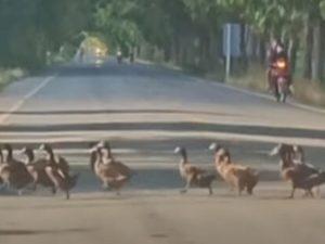 Сотни уток создали бесконечную пробку на дороге