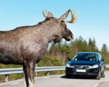 В Канаде гуляющего лося сопроводили полицейским эскортом с мигалками