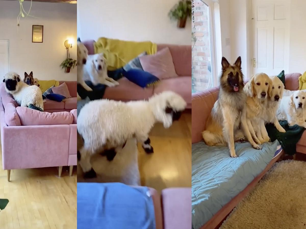 Собаки привели в гости овцу, пока хозяйки не было дома