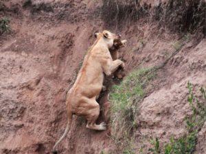 Мать спасла зовущего на помощь львенка