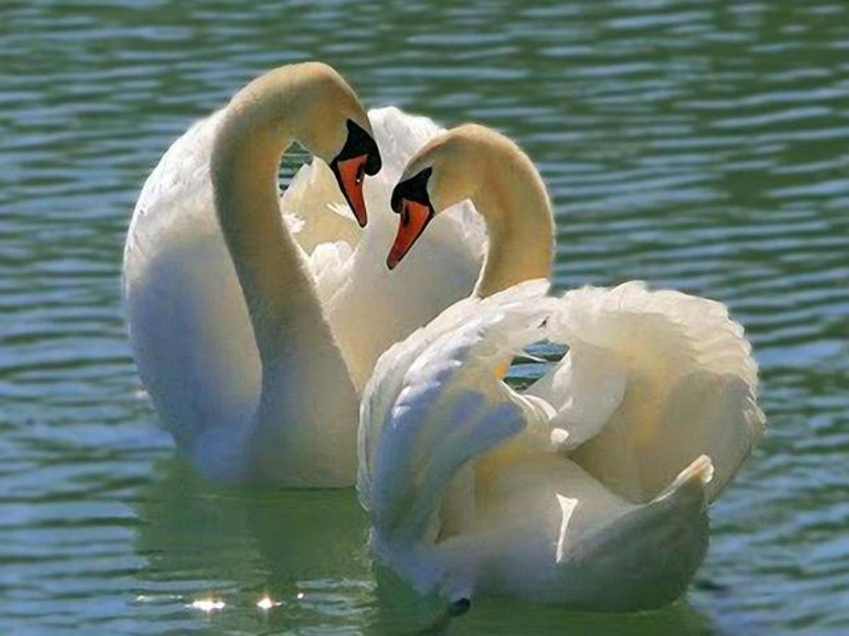 В Сокольниках распалась пара лебедей: Августина улетела на юг, бросив партнера