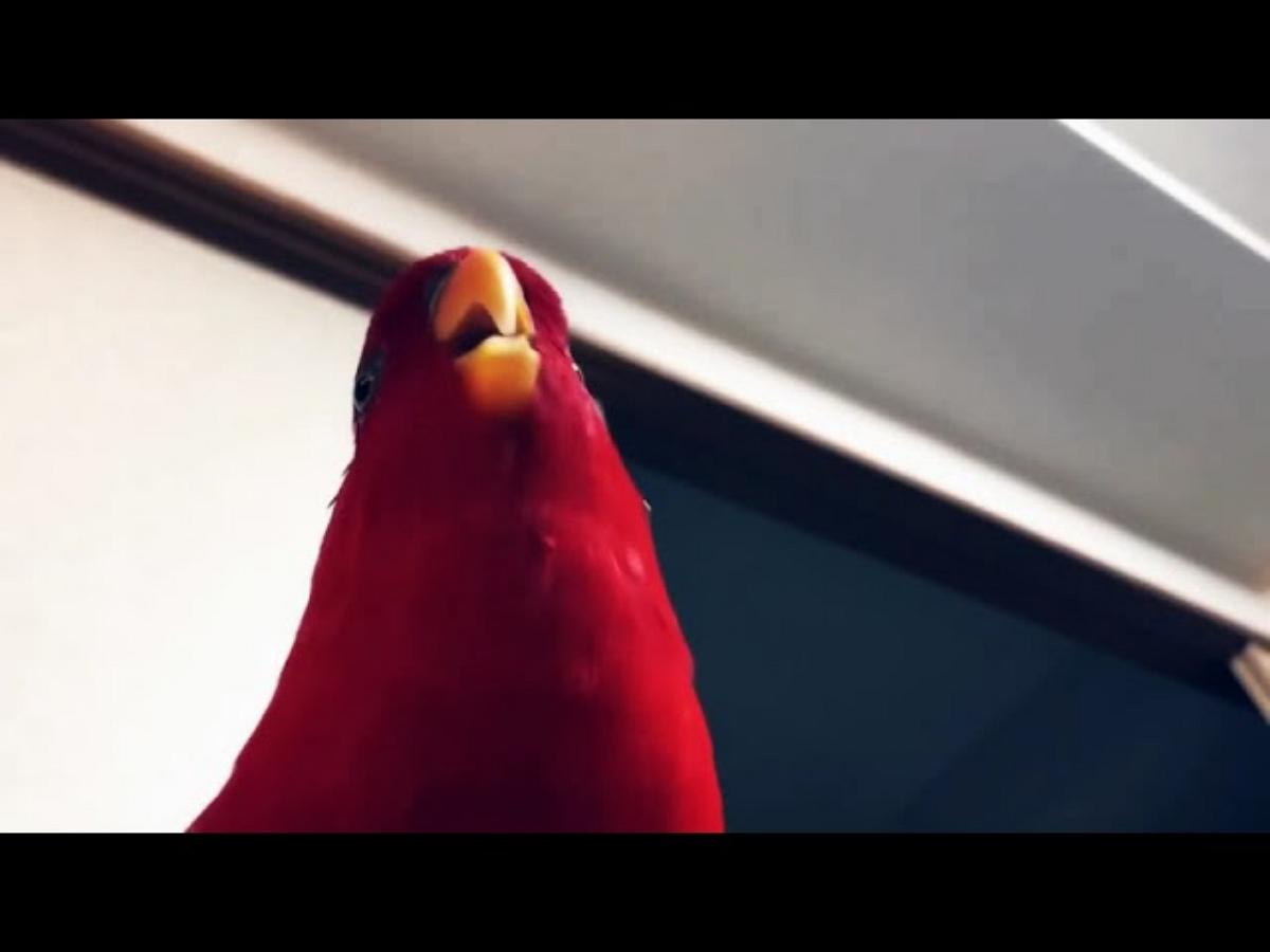 Красный попугай хохотал столь зловеще, что стал сетевым мемом