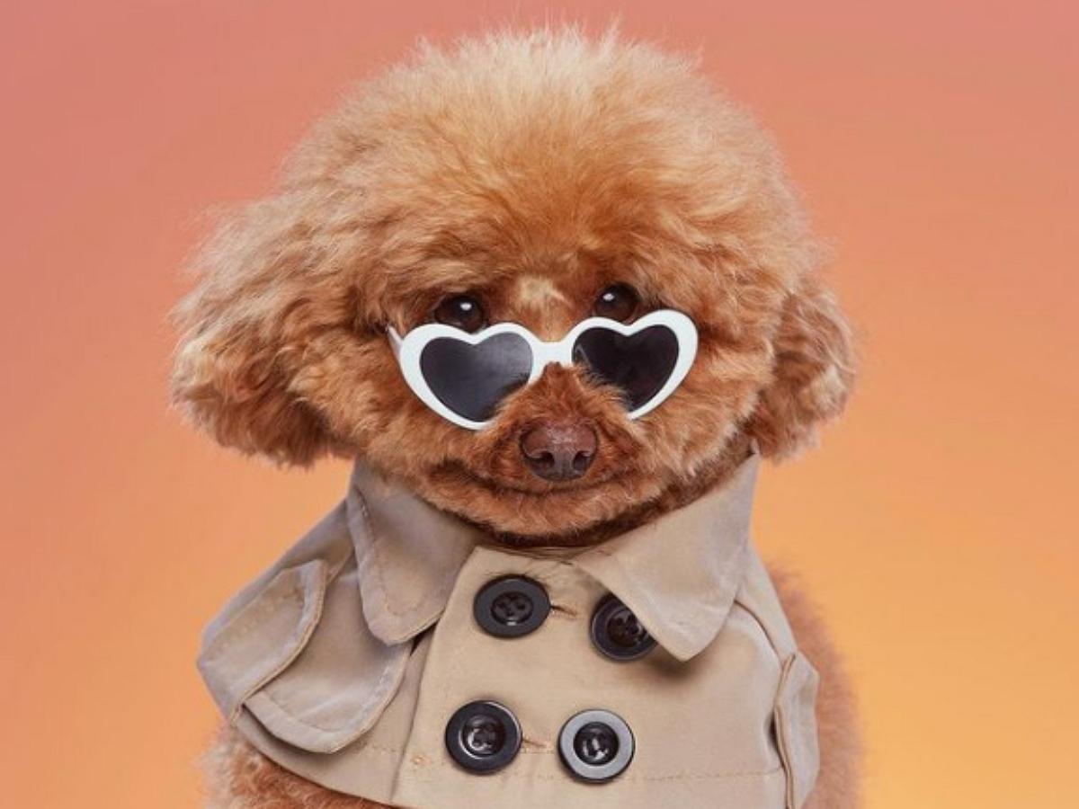 Собака-улыбака: пудель Груша стал звездой соцсетей