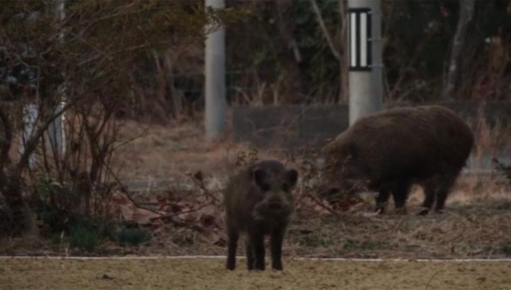 Дикие свиньи «поселились» взоне отчуждения вокруг АЭС «Фукусима-1»