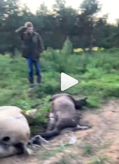 Медведь разорвал 12 лошадей депутата Госдумы (ФОТО)