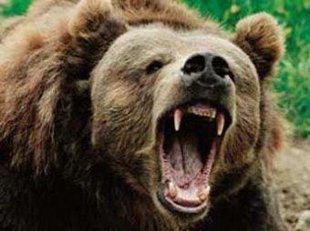 Владивосток, 1 октября, PrimaMedia.  Огромный бурый медведь был уничтожен полицией в селе Тиличики Олюторского района...