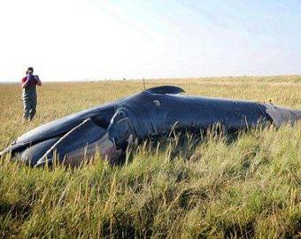 В Англии посреди поля обнаружили мертвого кита