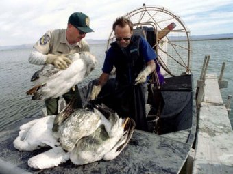 На побережье Перу неожиданно умерли сразу 500 пеликанов