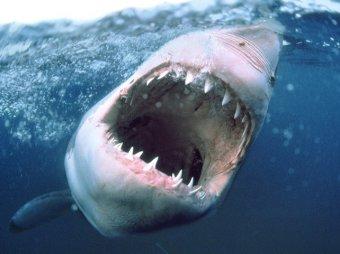 Акула-людоед вернулась на пляжи Египта
