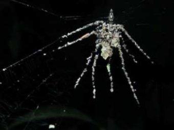 """Ученые нашли в Перу уникальных пауков-""""кукловодов"""""""