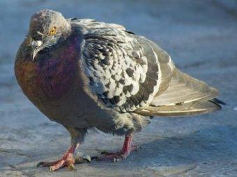 В Москве начали массово болеть и умирать голуби