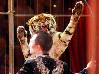 В Москве тигр покусал дрессировщика