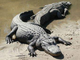 Пятиметровый крокодил проглотил туриста во время экскурсии по Австралии