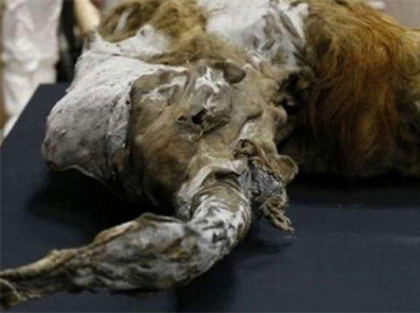В России создана лаборатория по клонированию вымерших животных
