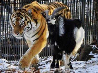 Про тигра Амура и козла Тимура хотят снять полнометражный мультфильм