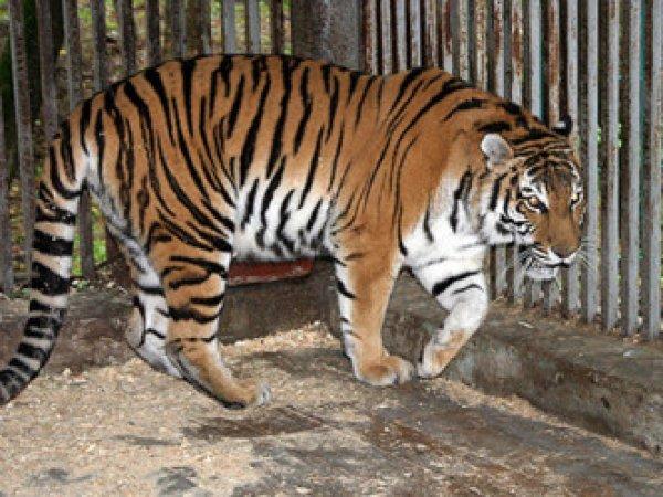 Тигр Амур растерзал девушку в барнаульском зоопарке