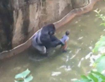 В зоопарке США застрелили гориллу, таскавшую ребенка, упавшего в ее вольер (ВИДЕО)