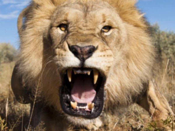 Лев напал на охотников, позировавших с убитым сородичем (ВИДЕО)