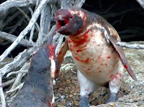ВИДЕО кровавой бойни пингвинов ужаснуло Youtube