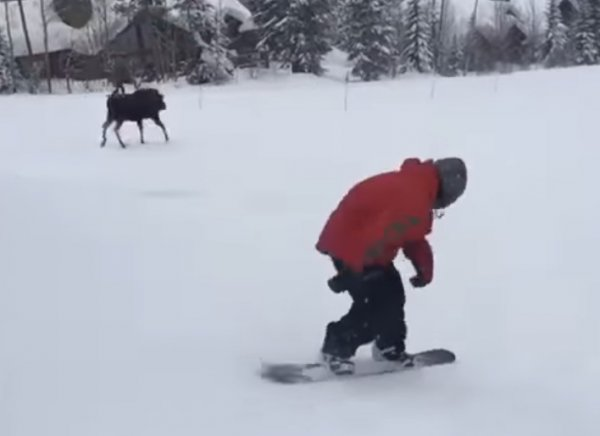 YouTube ВИДЕО: разъяренный лось устроил погоню за сноубордистом