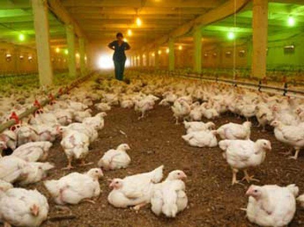 Вспышка птичьего гриппа в Подмосковье: 14 человек в карантине