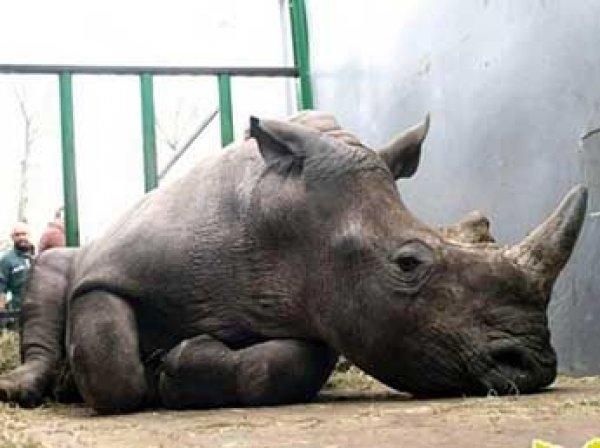 Во Франции браконьеры убили редкого белого носорога прямо в зоопарке (ФОТО)