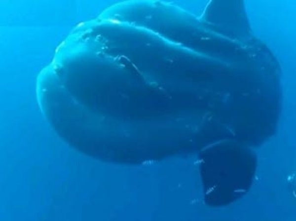 Ученые нашли на дне океана двухтонных рыб, которые скрывались от них 130 лет (ВИДЕО)
